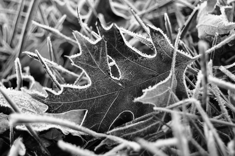 Frost Kissed Leaf