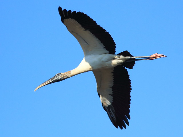 Wood Stork in flight 20121125