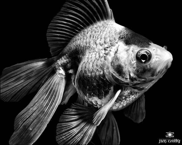 Goldfish in Black and White by Jim Crotty | Flickr - Photo ...