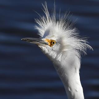 Eye Contact 1/6  --- Snowy Egret