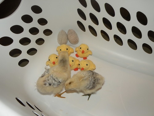 Chick photo 4