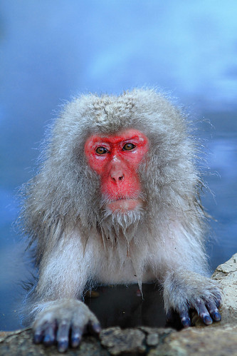 Japanese Macaque enjoying Onsen