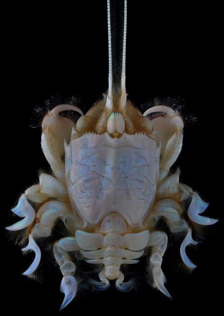 Mole crab (Albunea cf groeningi)