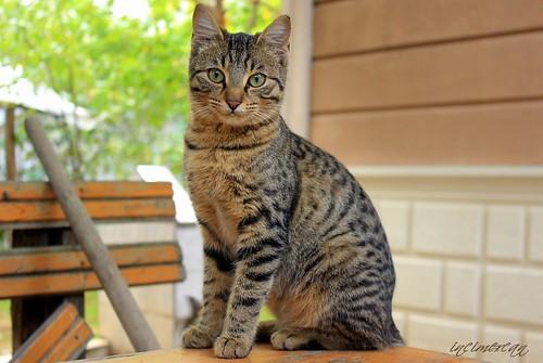 Kediler / القطط