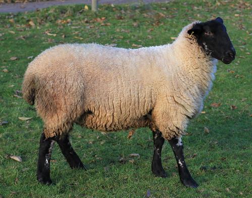 A Random[1] Sheep
