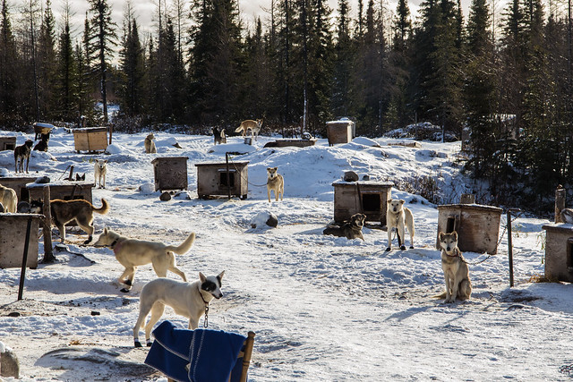 Dogsledding in Churchill