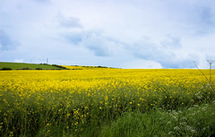 Lin seed fields