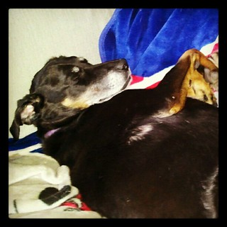 Lazy Lola #dogs #dobermanmix #dobiemix #rescue #adoptdontshop