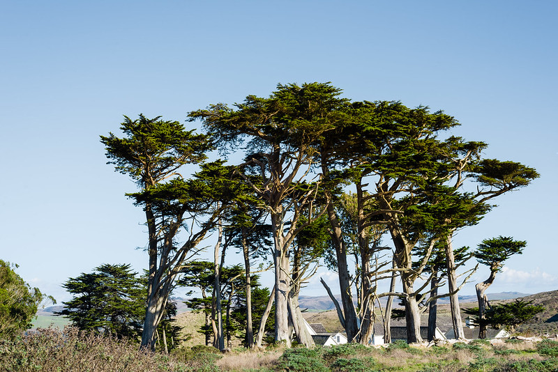 Cypress Tree by the Pierce Point Ranch at Point Reyes