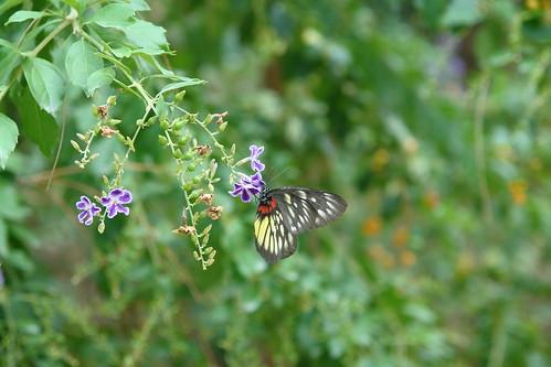 紅肩粉蝶。陳秀竹攝