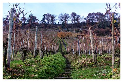 autumn schweiz switzerland vineyard suisse herbst che stgallen autunno 2012 weinberg thal vigneto dalmatino kantonstgallen mygearandme