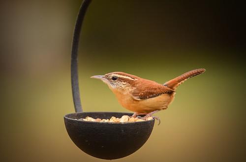 bird © feeder wren carolinawren garyburke northcarolinabird kenko14xpro300 nikond5100 nikon300mmf4edifafs