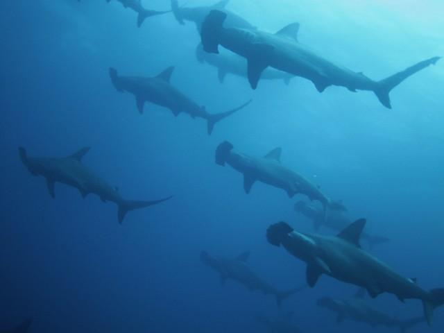 Tiburones martillo en Wolf