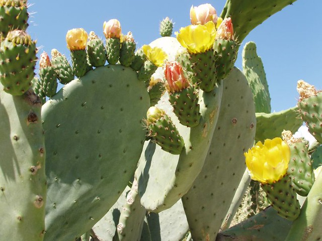 201205200632_yellow-prickly-pear