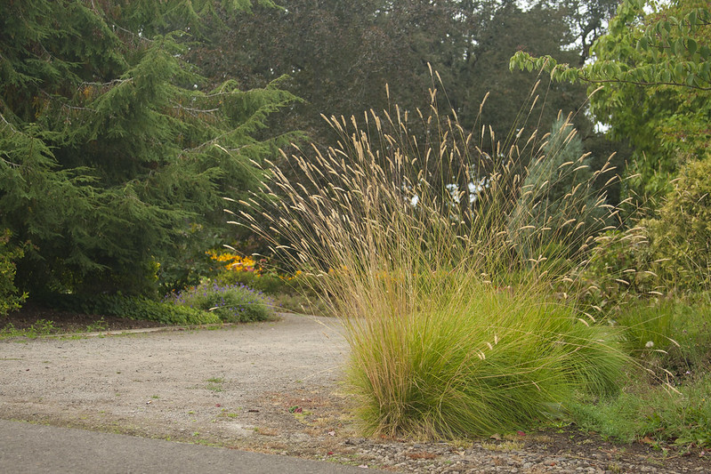 pennisetum spatheolatum
