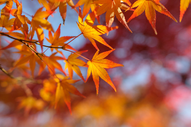 Momiji (Maple leaves) 3