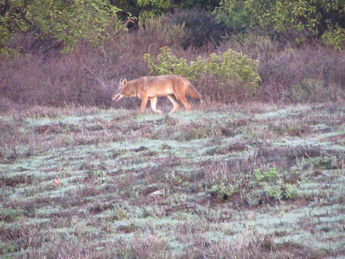 coyotes on the bluff