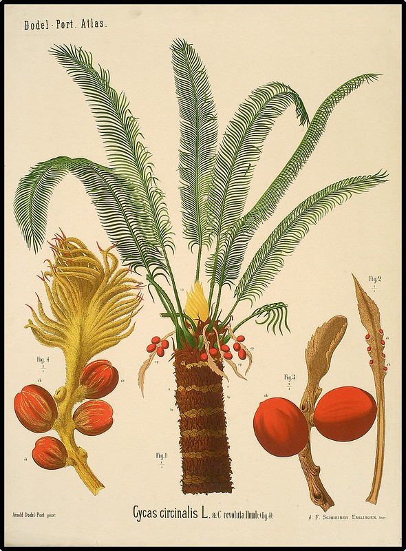 educational schematic chart of queen sago & Japanese sago palm trees