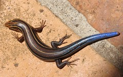 Five Lined Skink: Eumeces inexpectatus