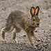 Snowshoe Hare in Denali