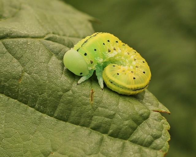 Cimbex connatus - Alder Sawfly.