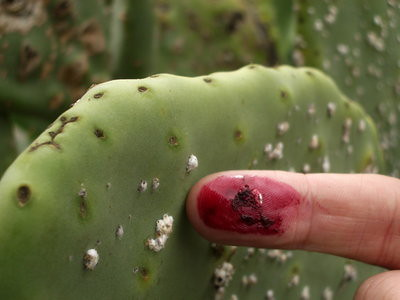 color me carmine: cochineal bugs in our food and drink | beyondbones