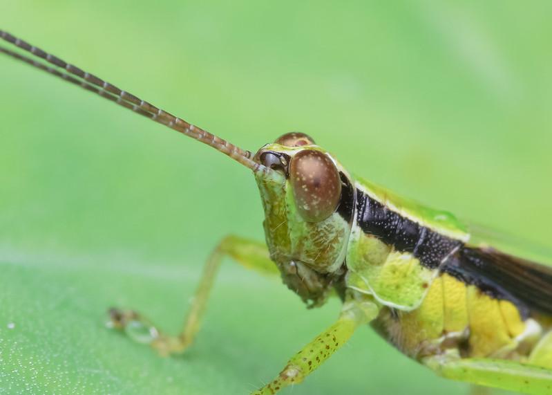 [IMGP0382-pp] Grasshopper