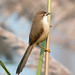 Small photo of Yello-eyed Babbler
