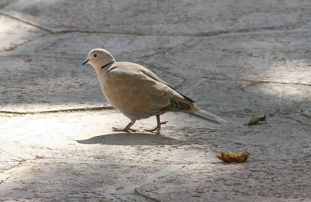 eurasian collared dove 01