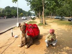 Camel!