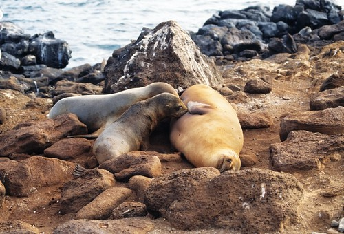 sea lions, Galapagos (by: Derek Keats, creative commons)