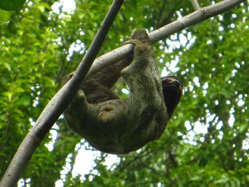 Sloth in the wild, Costa Rica