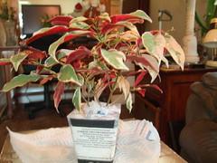 Chinese Croton