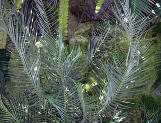 Encephalartos cycadifolius 8191987565_11935de49f_o