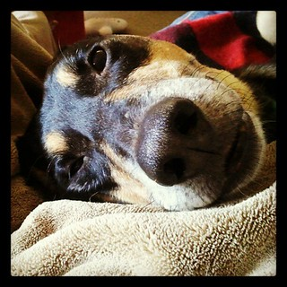 Lazy Sunday Morning #dogs #hound #mutt #rescue #adoptdontshop #happydog #dogstagram