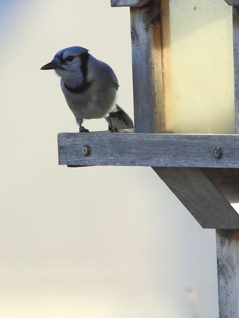 Blue Jay 20121117