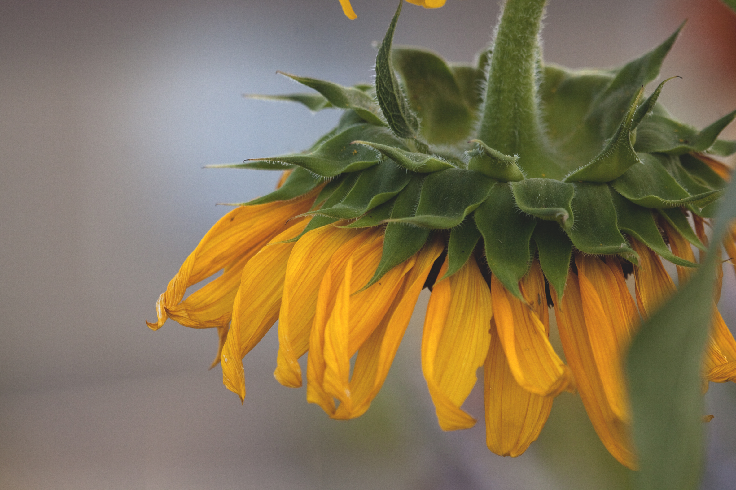 sunflower droop2
