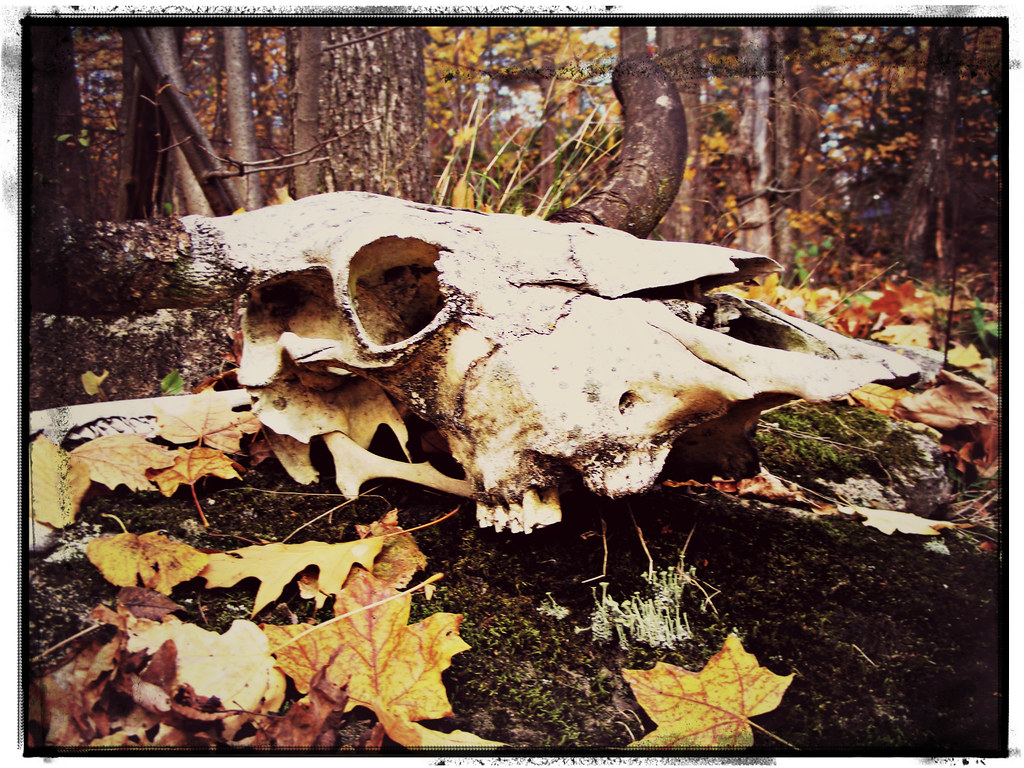 bull skull in leaves