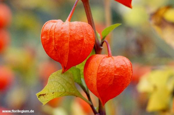Lampionblume (Physalis alkekengi)