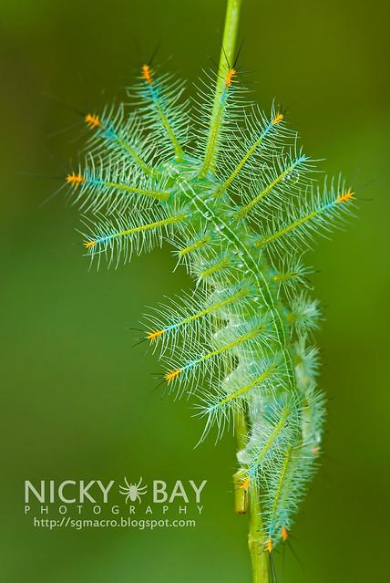 Archduke larva (Lexias pardalis dirteana) - DSC_3917