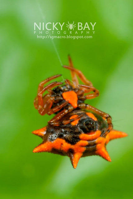 Spiny Back Orb Weaver (Gasteracantha sp.) - DSC_3847