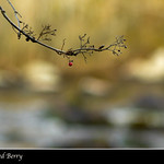Twig with Red Berry