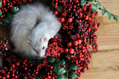 Wreathed: 52 weeks of ferrets (46/52)