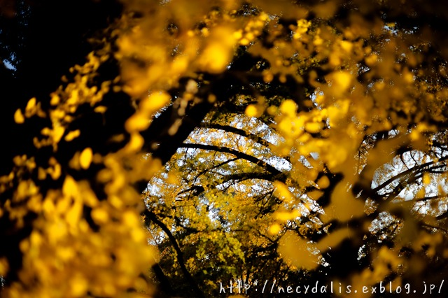 Corridor of yellow leaves...