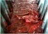 תרנגול מתבוסס בדם במשחטה