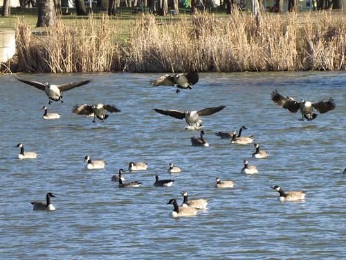 birds geese wildlife iowa masoncity