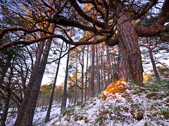 Scots pine and golden sun
