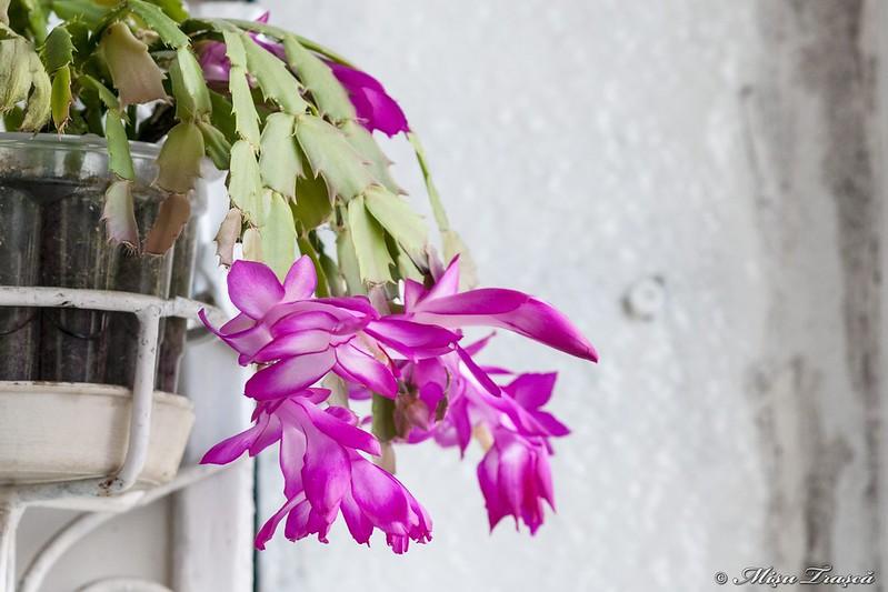 craciunică / Christmas Cactus