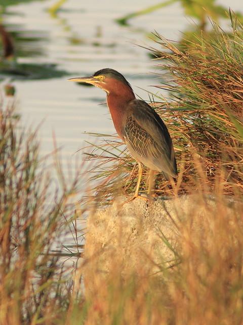 Green Heron 8-20121211