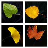 Mini-collage of leaf photographs compiled by Science Friday (obtained from their Flickr site)